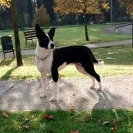 Border collie gijon